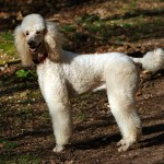 Top 120 French Poodle Names Of The Year The Dog People By Rover Com