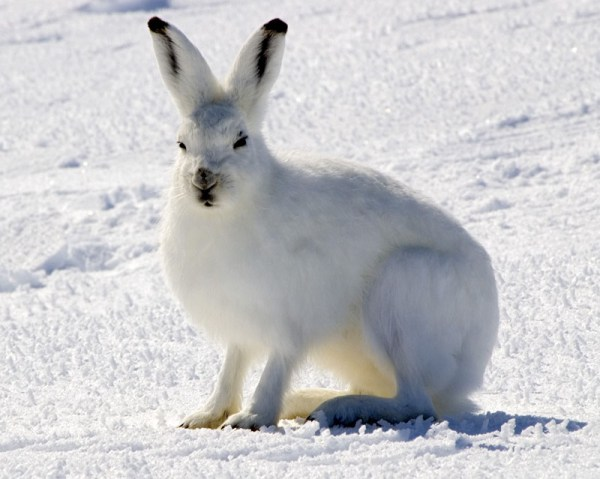 Arctic hare Wikipedia
