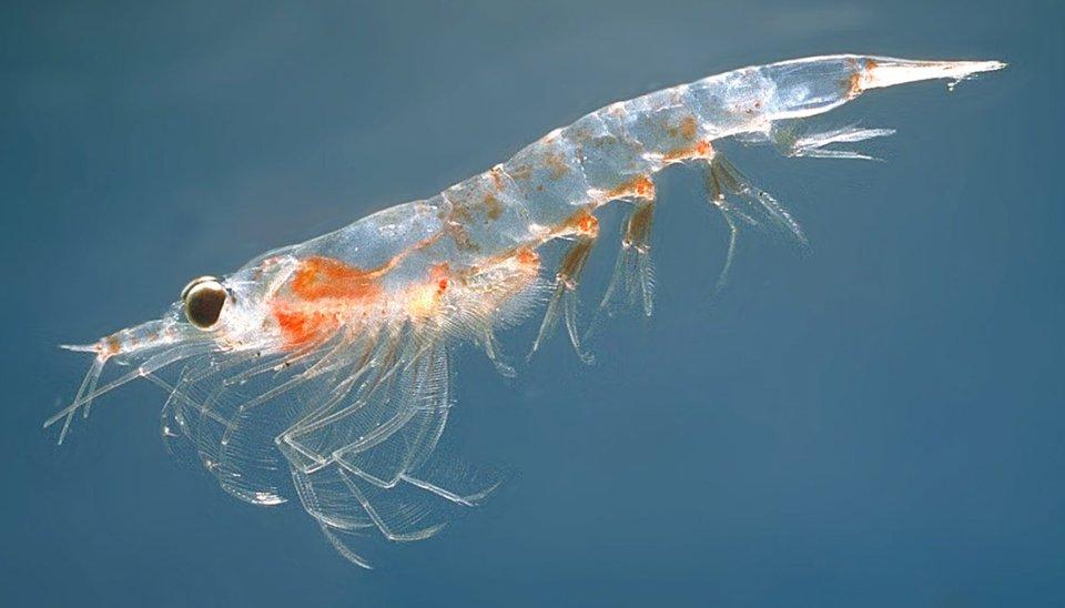 A '''Northern krill''' (''Meganyctiphanes norvegica'')