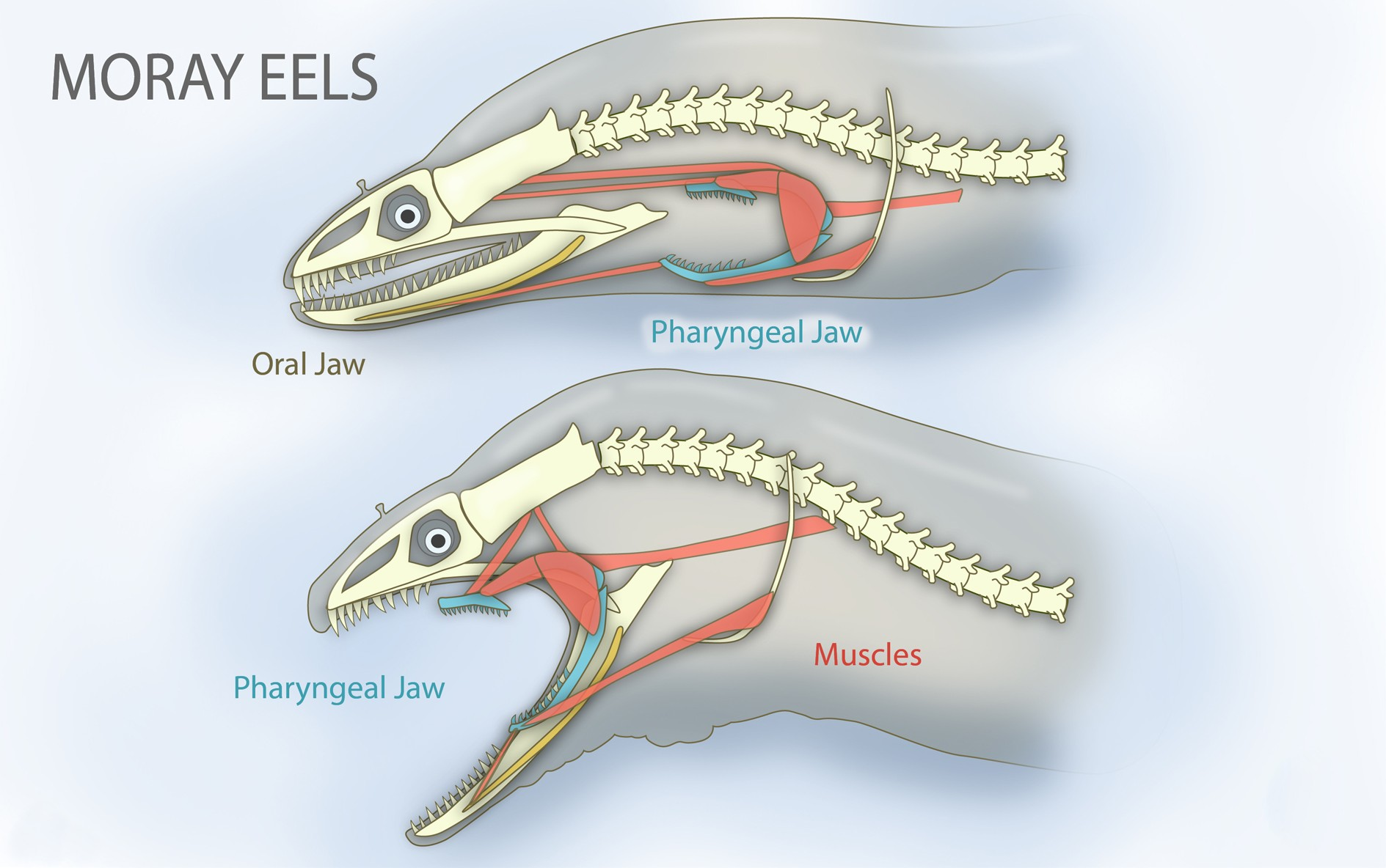 hight resolution of file pharyngeal jaws of moray eels jpg