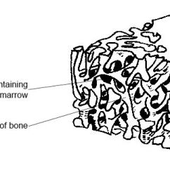 Sheep Skeleton Diagram Wiring For Capacitor Anatomy And Physiology Of Animals The Wikibooks Open Spongy Bone Jpg