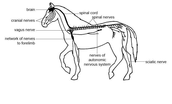 Anatomy and Physiology of Animals/Nervous System