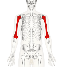 ulna diagram neck [ 4500 x 4500 Pixel ]
