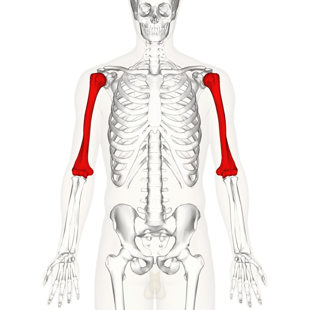 medium resolution of ulna diagram neck