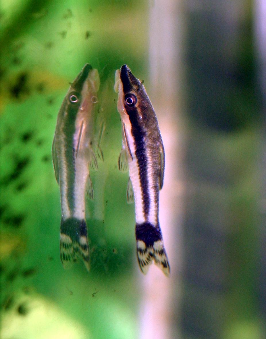Poisson Laveur De Vitre : poisson, laveur, vitre, Macrotocinclus, Affinis, Wikipédia