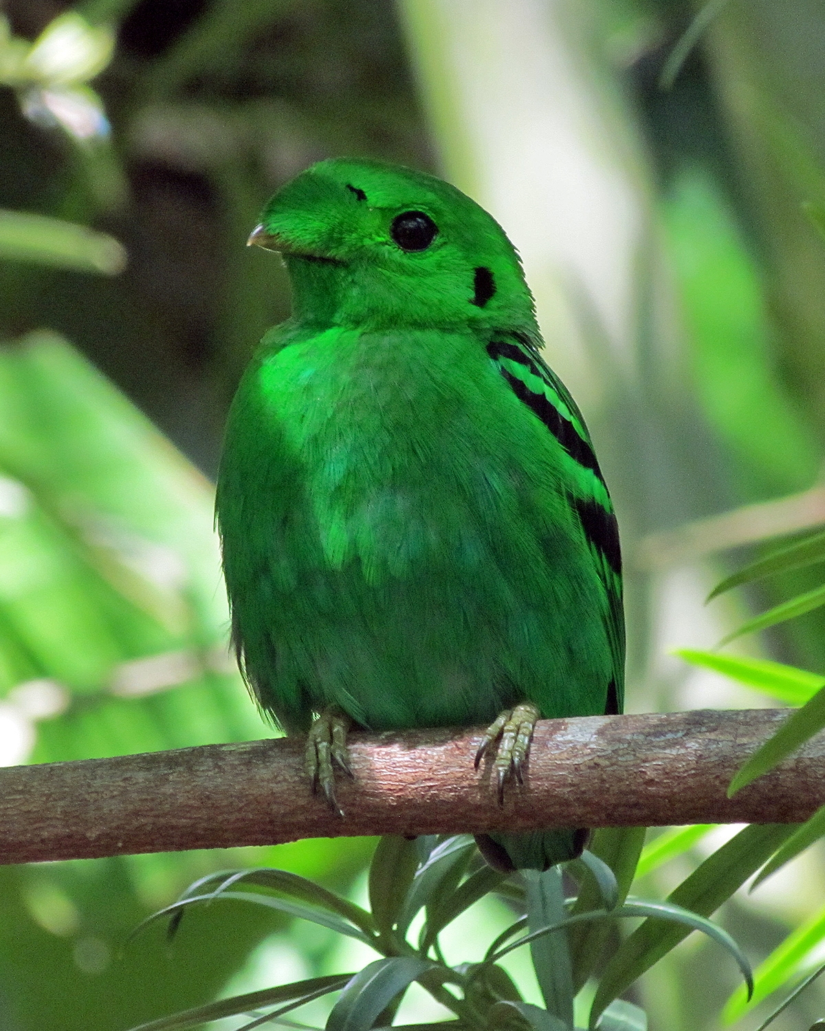 Green broadbill  Wikipedia