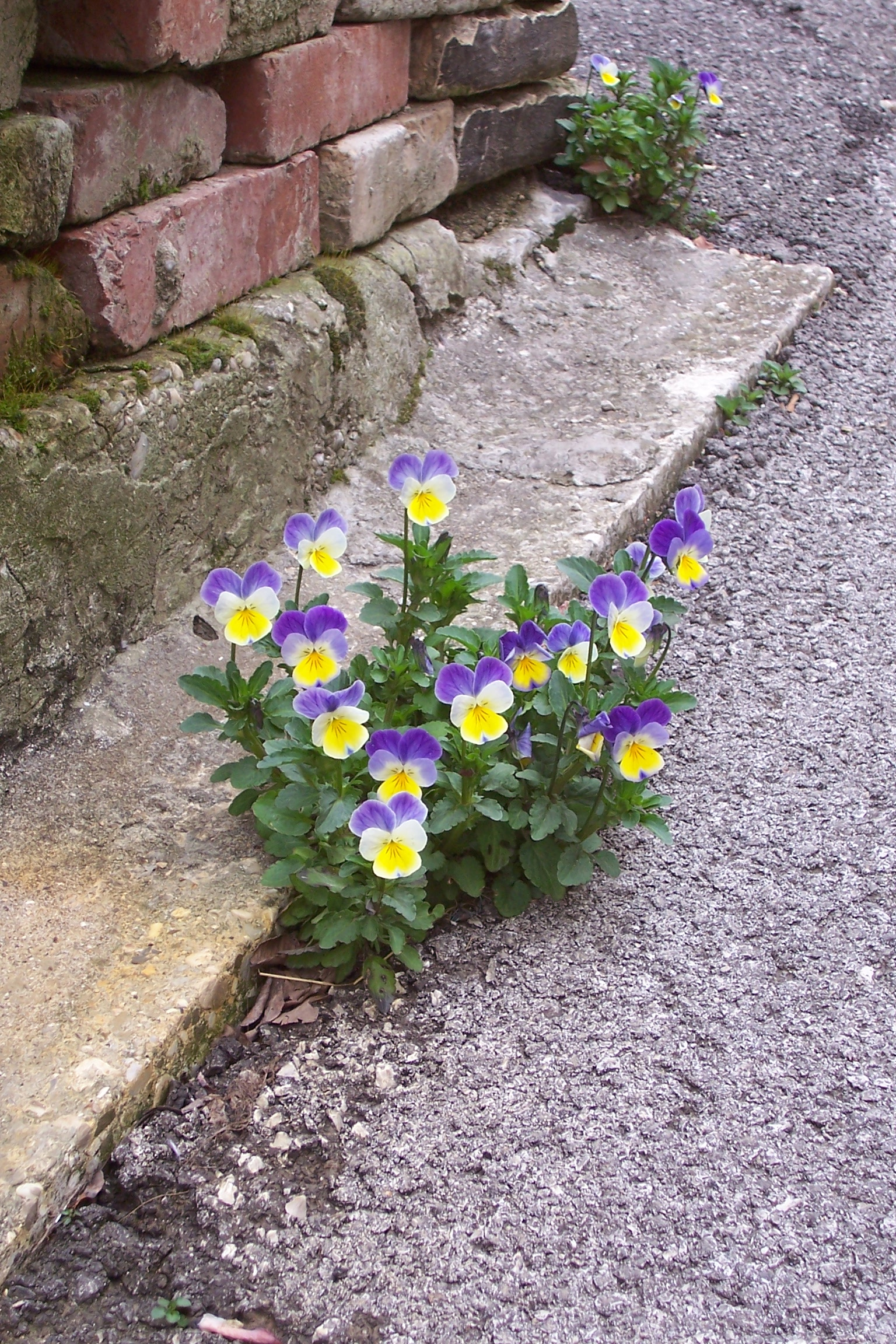Garden Design Garden Design With How To Buy And Plant Pansies