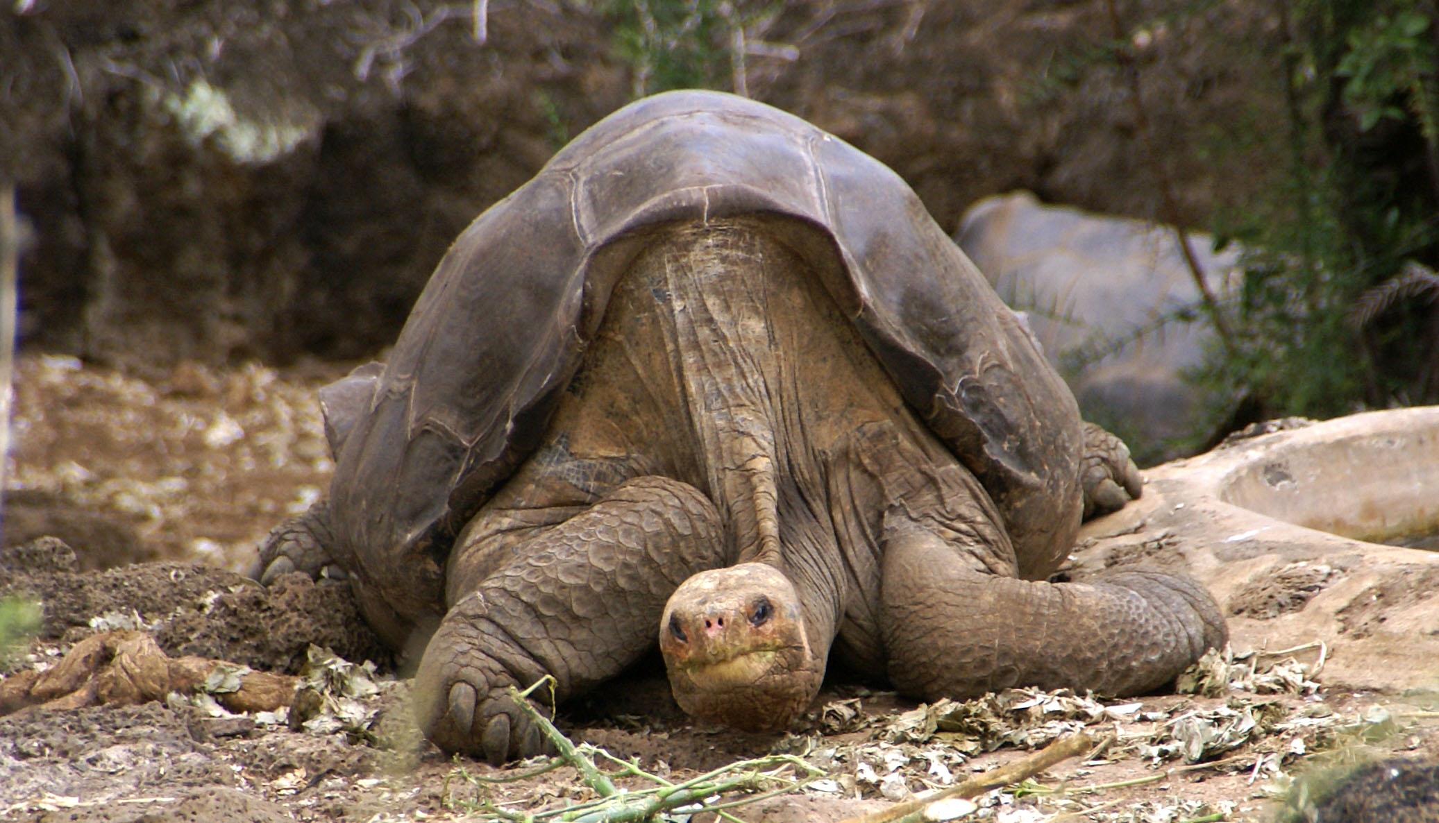 Lonesome George, relaxandu-se in insula Pinta