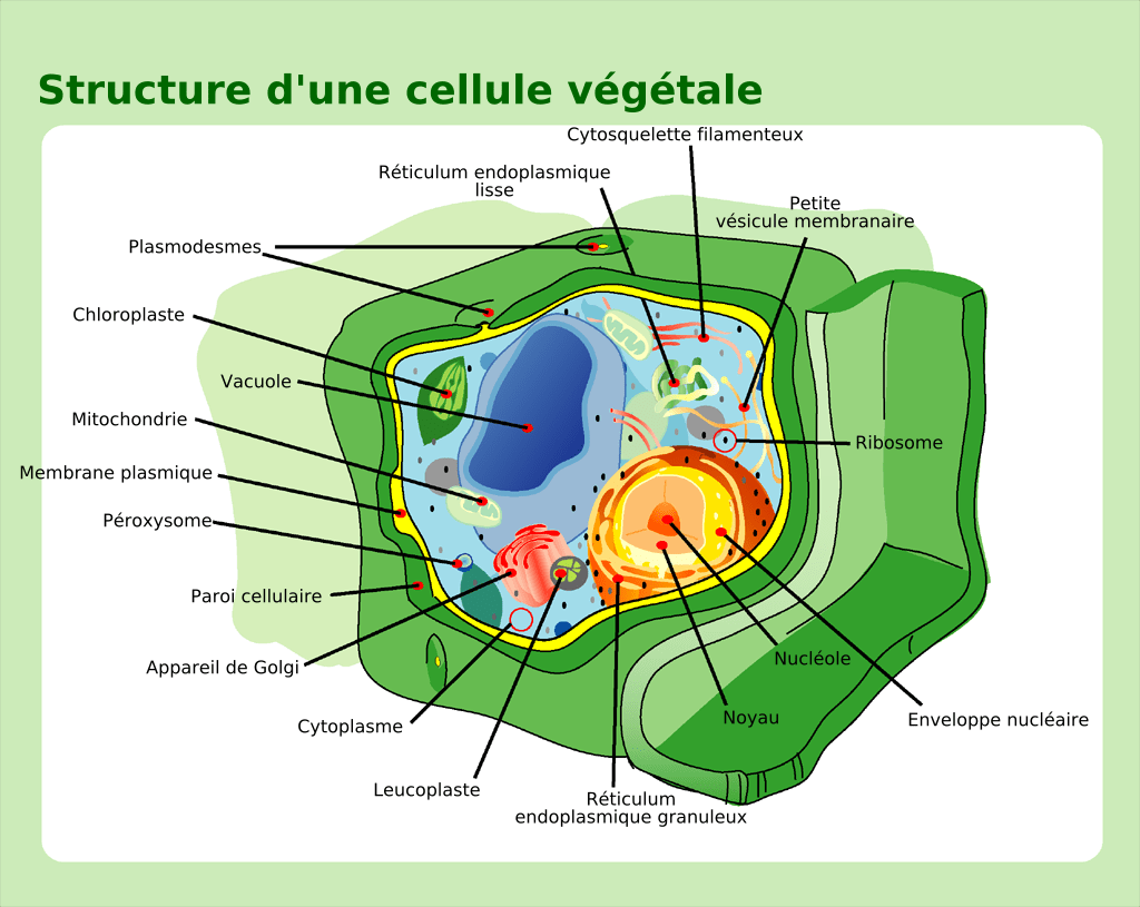plant cell diagram vacuole deciduous forest file structure fr png wikimedia commons