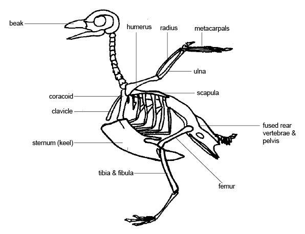 diagram of chicken bone