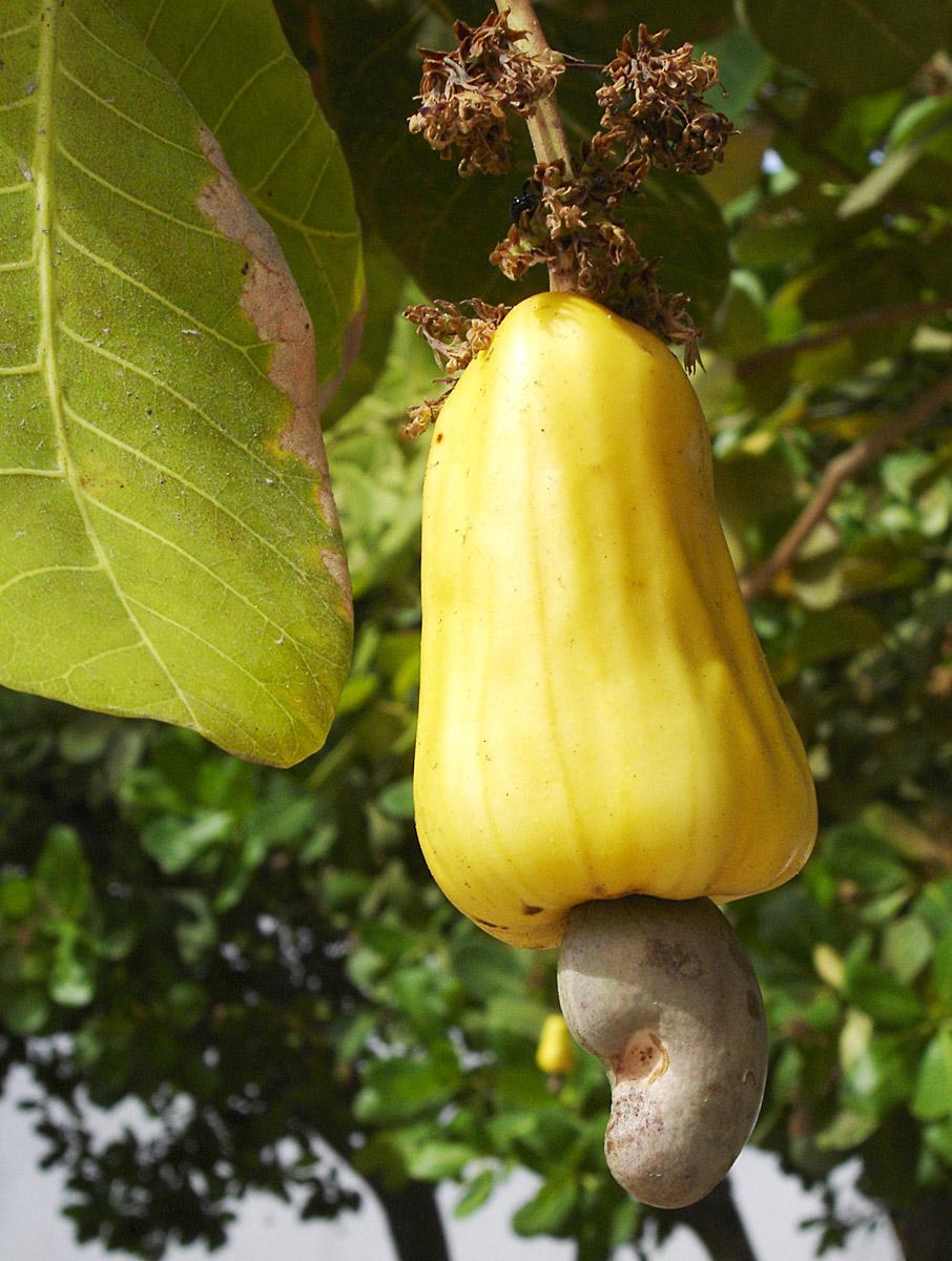 Noix De Cajou Arbre : cajou, arbre, Cajou, Wikipédia