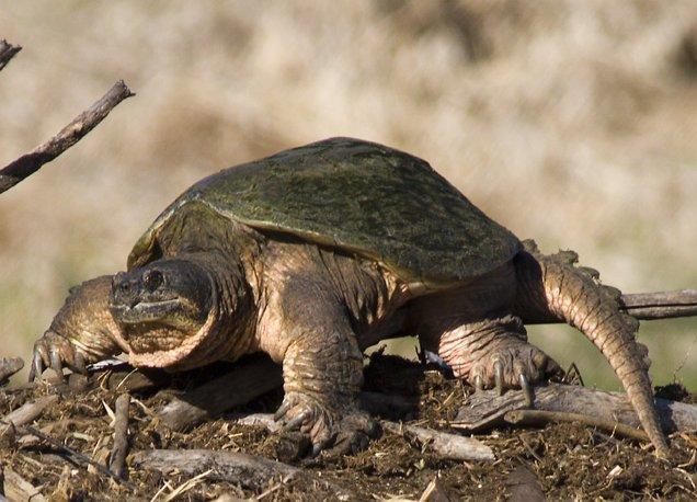 https://i0.wp.com/upload.wikimedia.org/wikipedia/commons/e/e6/Common_Snapping_Turtle_1429.jpg