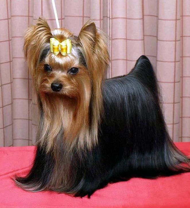 Girl Wallpaper Longitudinal Yorkshire Terrier Wikipedia La Enciclopedia Libre