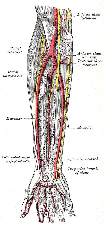 palmar hand muscle anatomy diagram flat gun ulnar nerve wikiwand