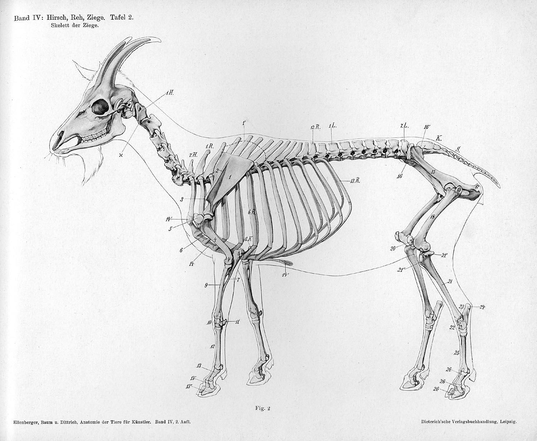 deer skeleton anatomy diagram strat 3 way switch wiring vet science on pinterest horse veterinarians