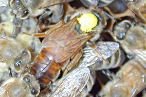 Deutsch: Die Bienenkönigin wurde vom Imker mit...