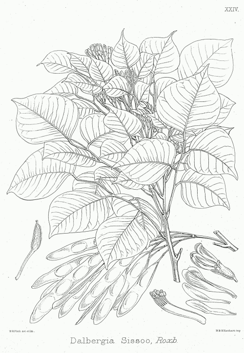 small resolution of rose leaf diagram