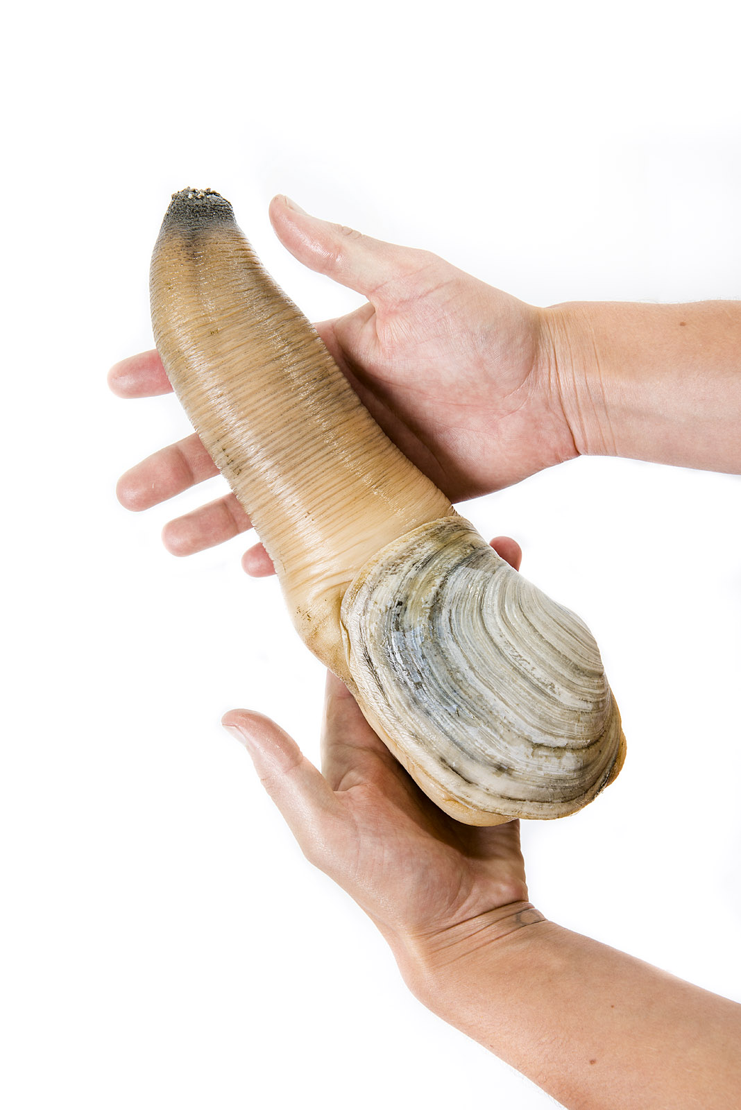 Gooey Duck Pictures : gooey, pictures, Geoduck, Wikipedia