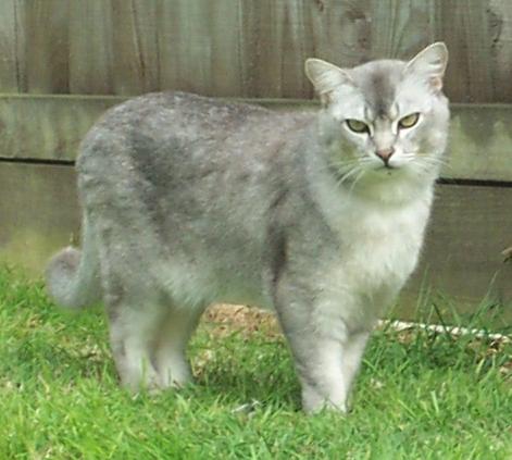 File:Male Burmilla cat.jpeg