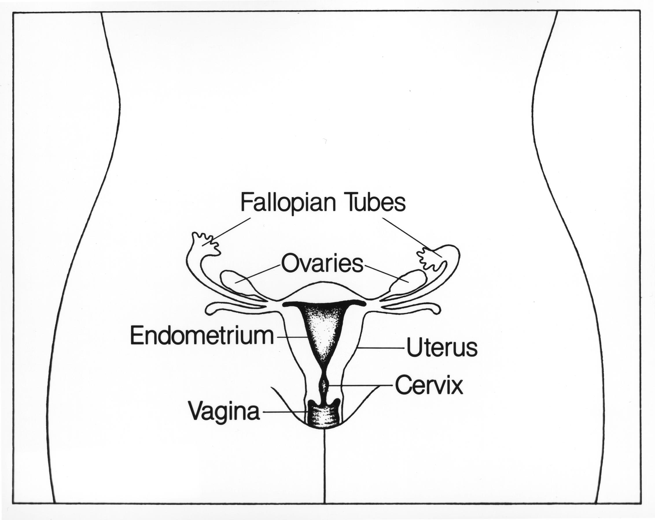 File Reproductive Female
