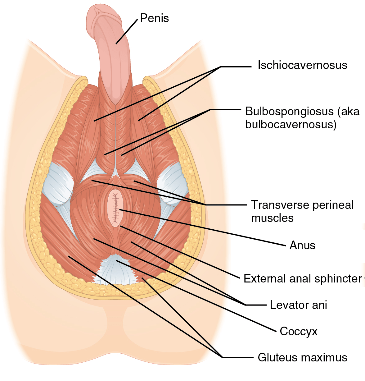 hight resolution of perineal hernia
