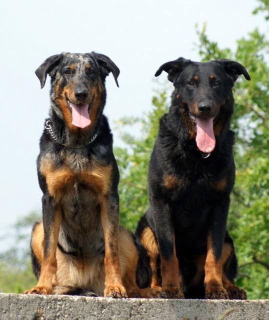 Beaucerons Pitbull Dog Black And White