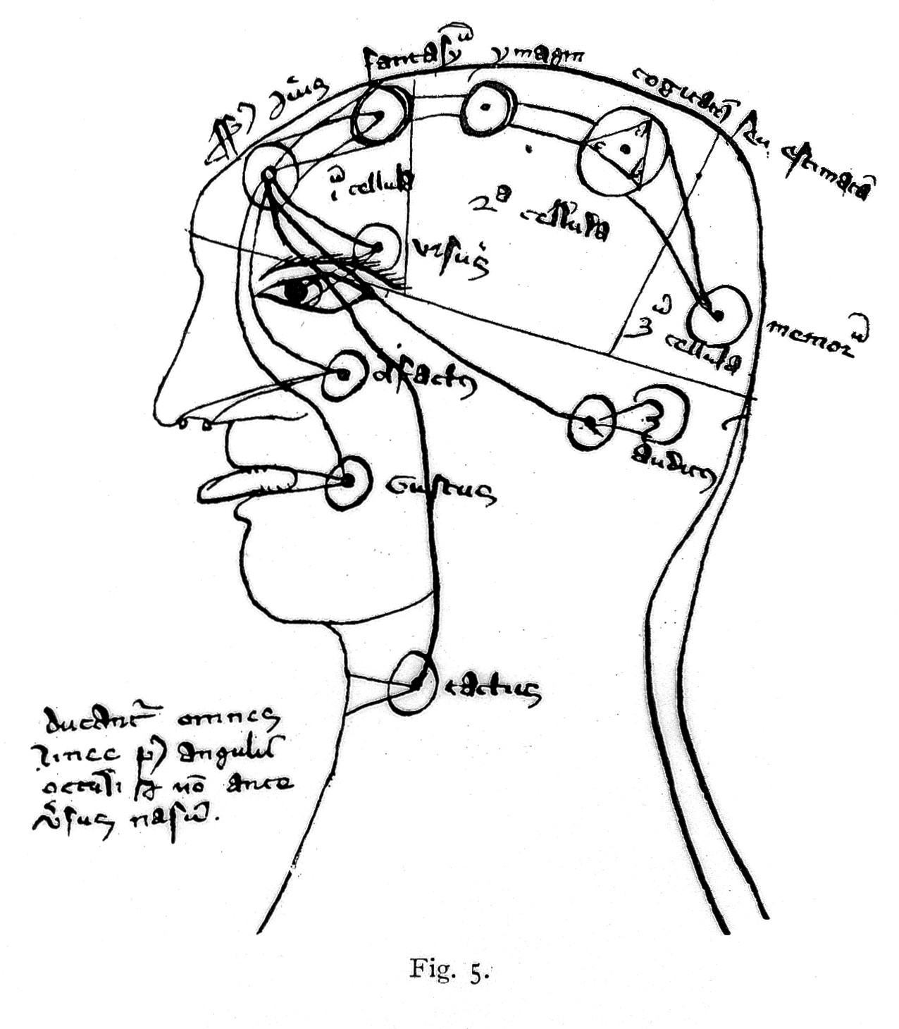 File Drawing Head Showing Cells Of Brain Ventricles