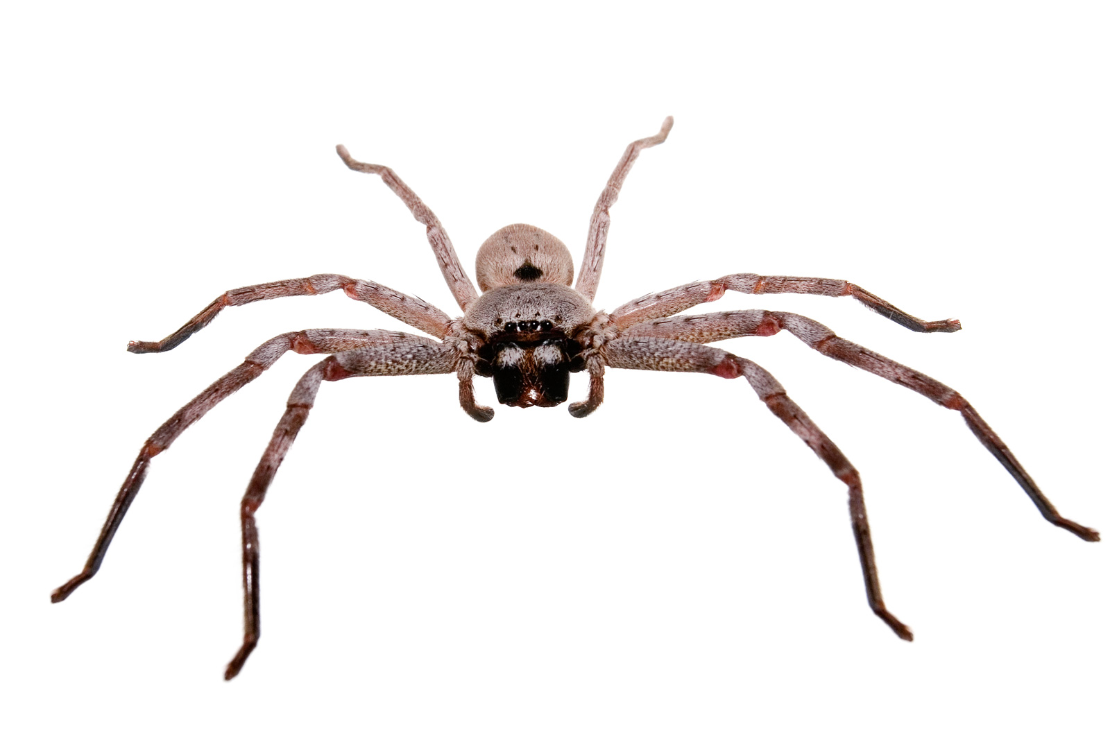 Lies And Fairy Tales Huntsman Spider