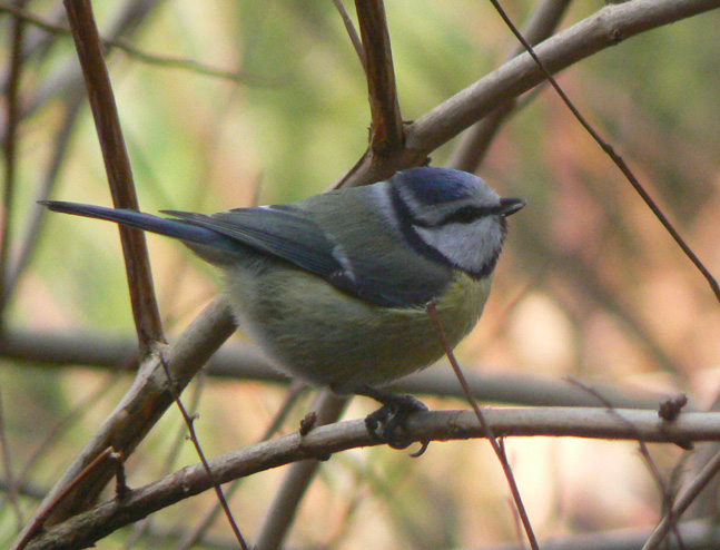 File:Cyanistes caeruleus on branch.jpg