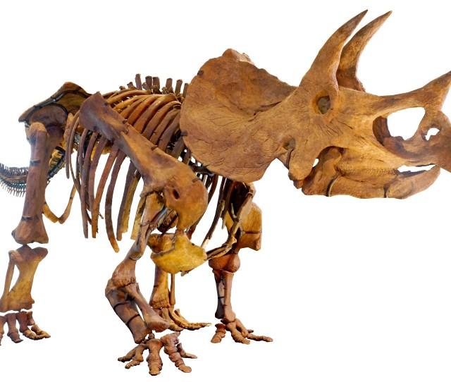 Triceratops Wikipedia