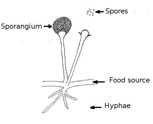 Sporangiospora