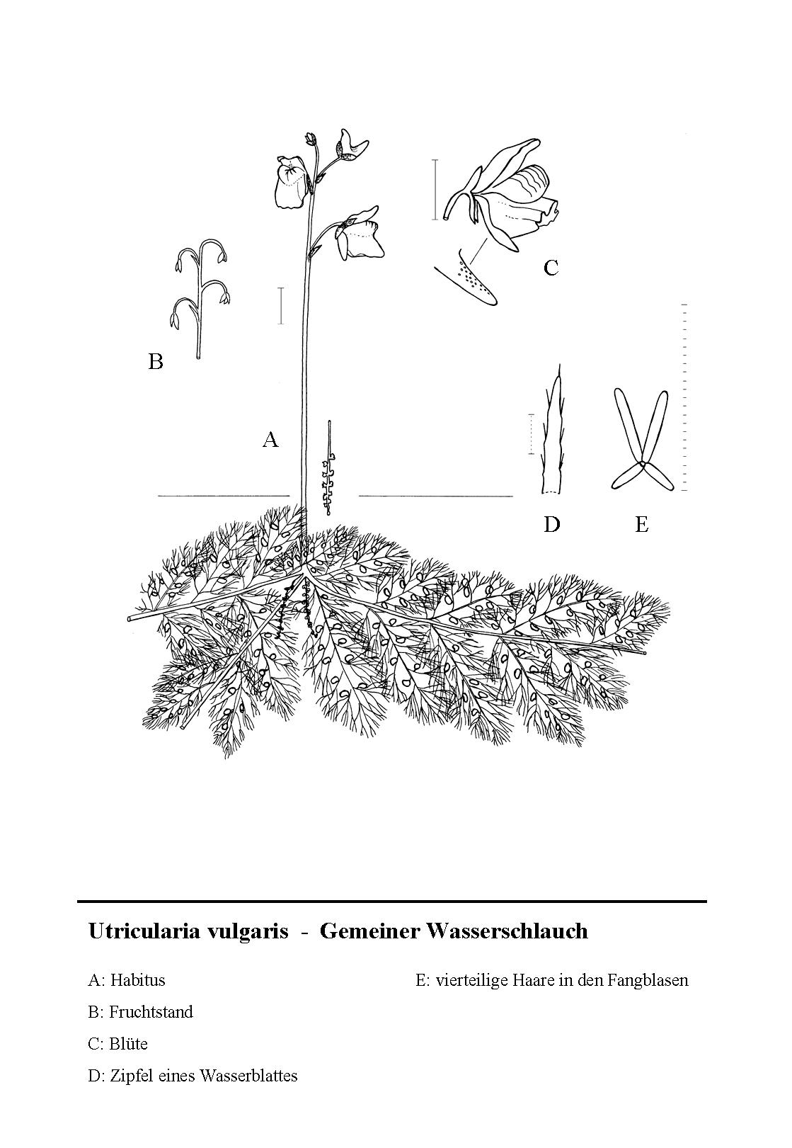 File Utricularia Vulgaris Illustration