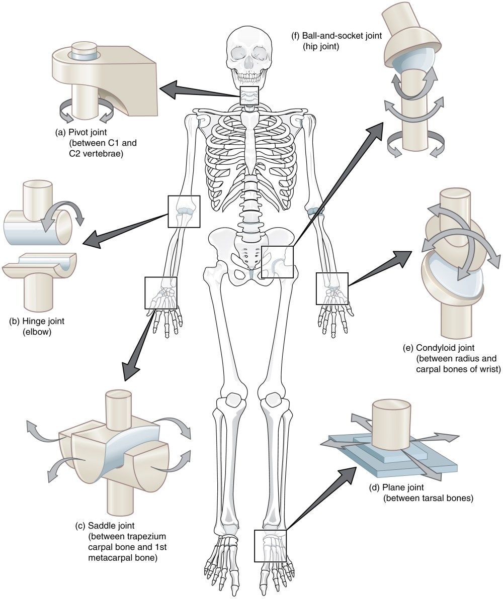 medium resolution of 909 types of synovial joints jpg
