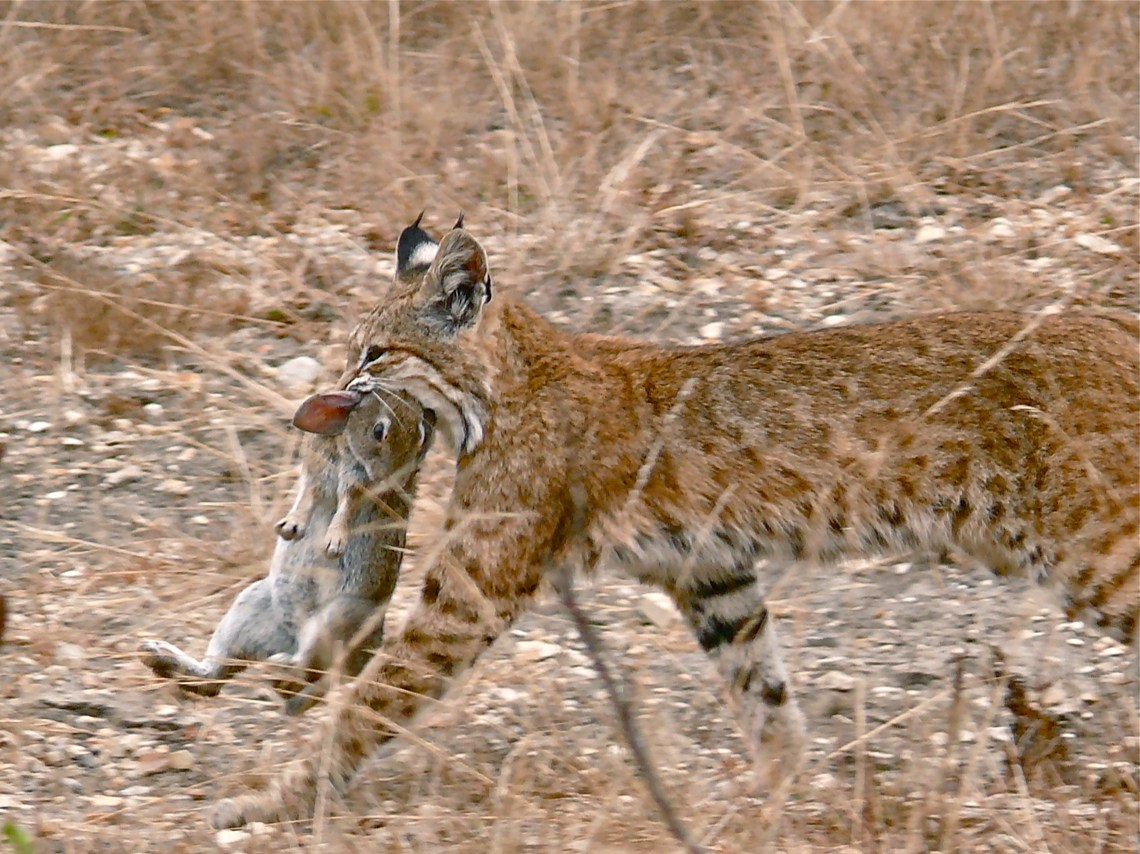 Bobcat having caught a rabbit Raising A Pitbull Puppy With Another Dog