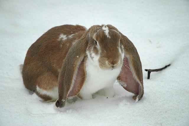 File:English Lop Rabbit.jpg