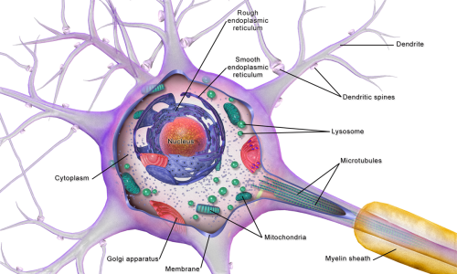 small resolution of lysosome neuron diagram wiring diagram for you nerve cell mitochondria nerve cell diagram lysosomes