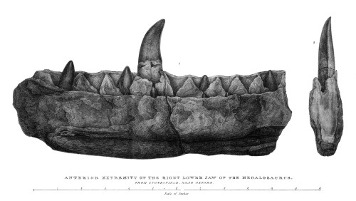 https://i0.wp.com/upload.wikimedia.org/wikipedia/commons/e/ef/Buckland%2C_Megalosaurus_jaw.jpg?resize=500%2C282&ssl=1