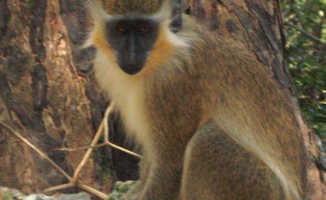 File Green Monkey In Barbados 04 Jpg