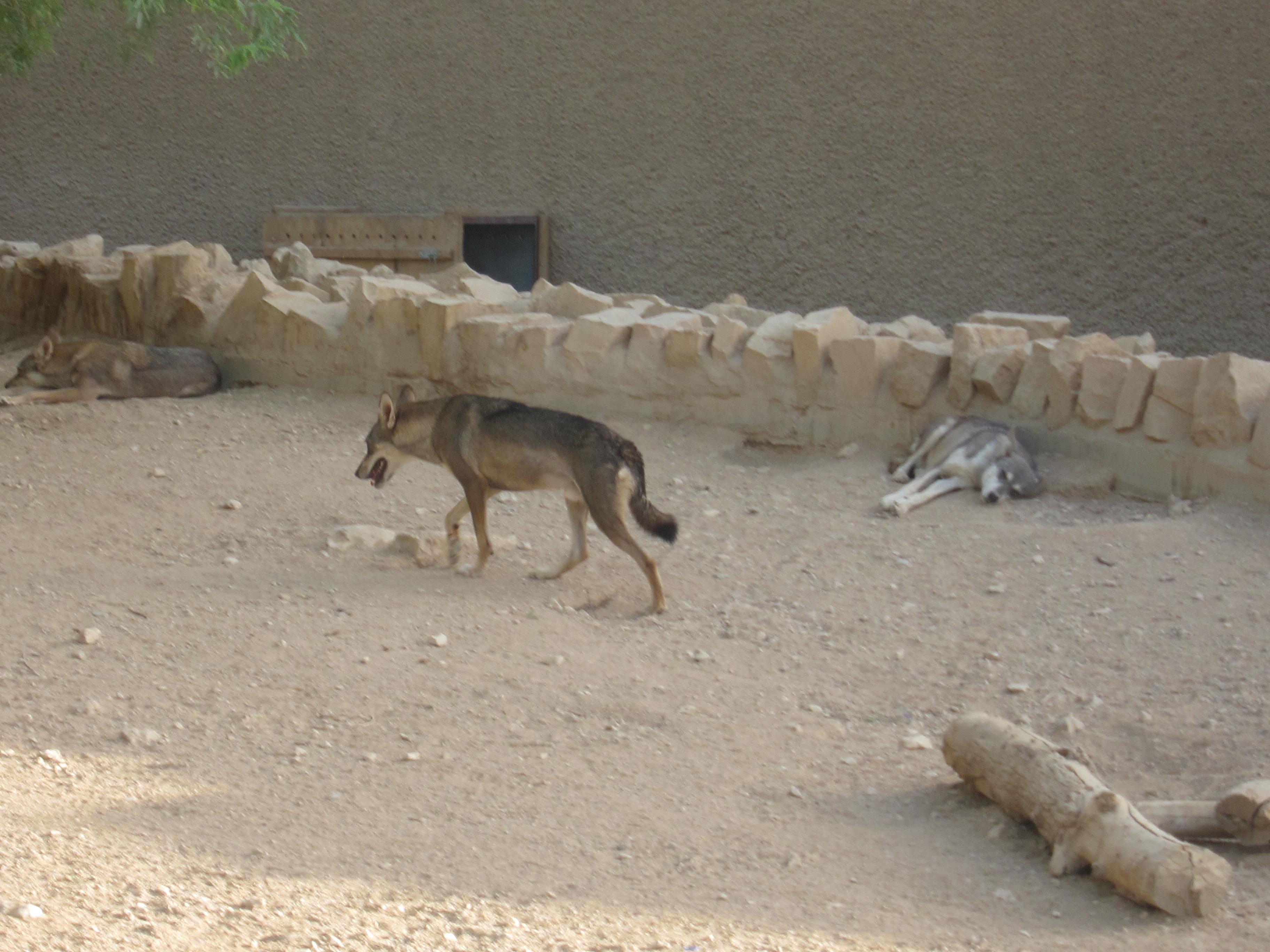 Donkey Vs Wolf