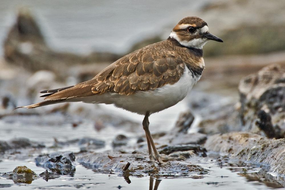 Brown Birds In Wisconsin