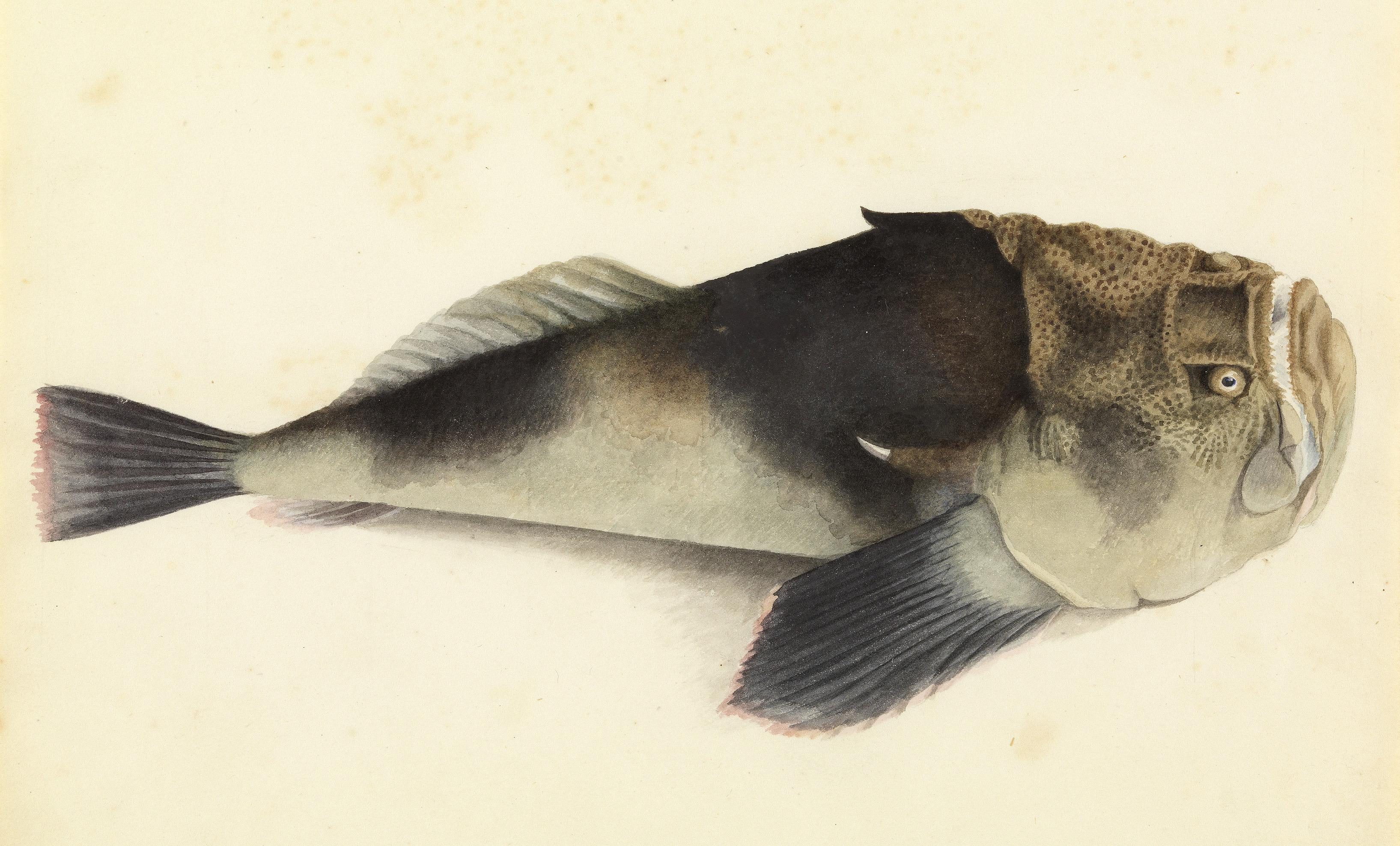 File Sketchbook Of Fishes