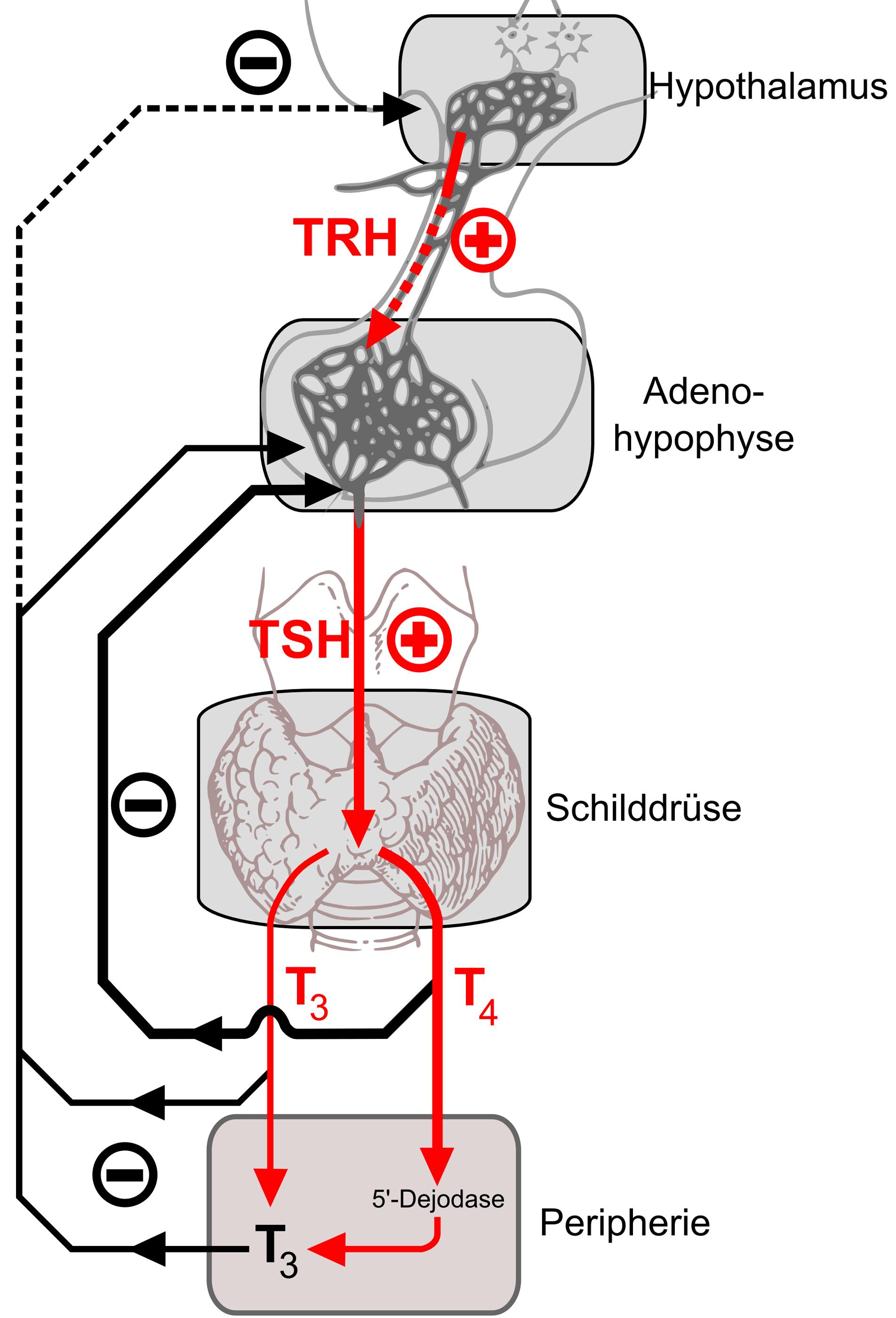 Fichier Thyroid Hormone Feedback