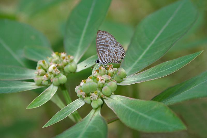 Euphorbia heterophylla  Wikispecies