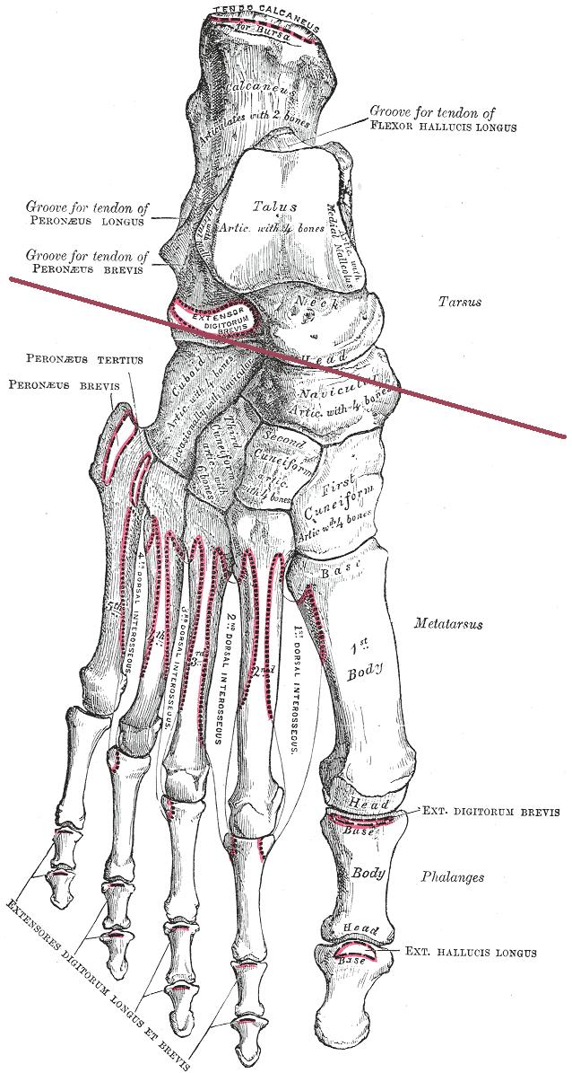 Bone Tarsal Markings Anatomical