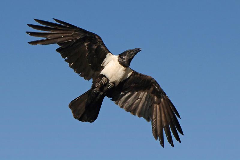 pied crow wikipedia