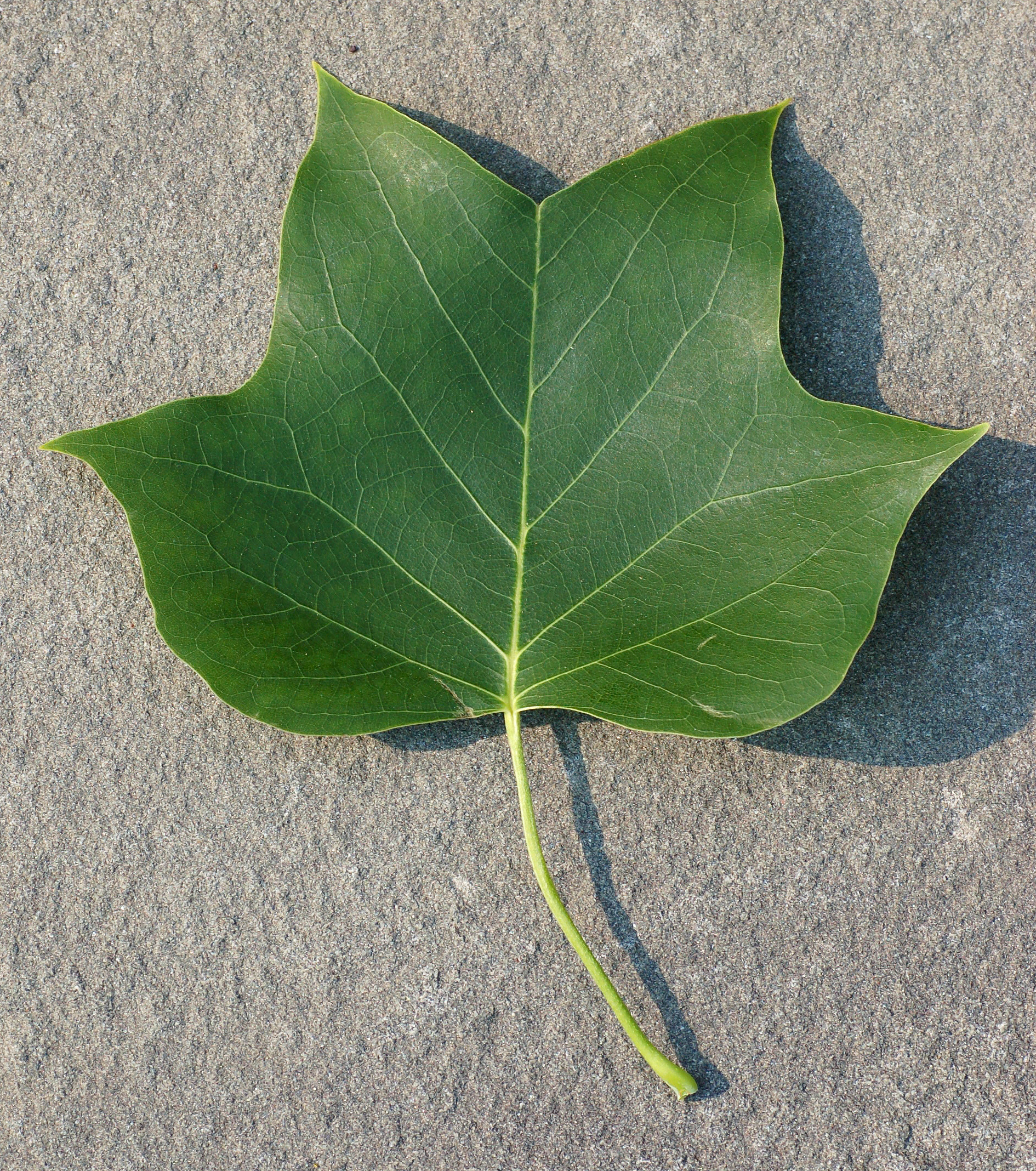 Image result for liriodendron leaves
