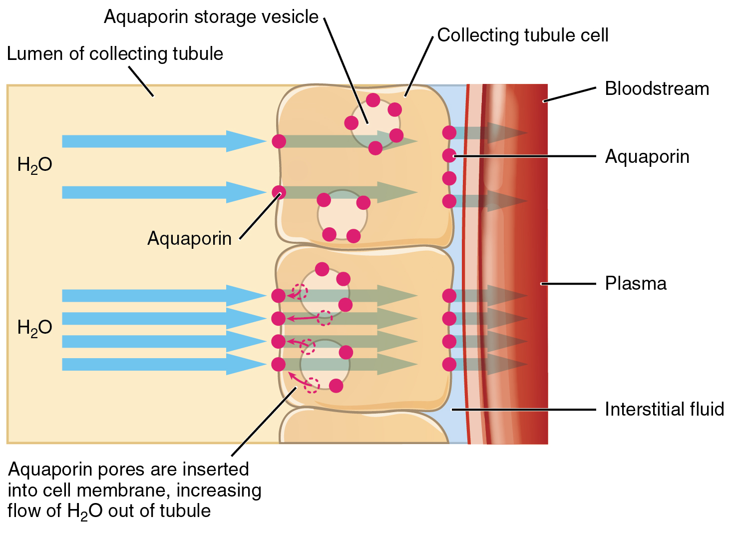 File Aquaporins 01