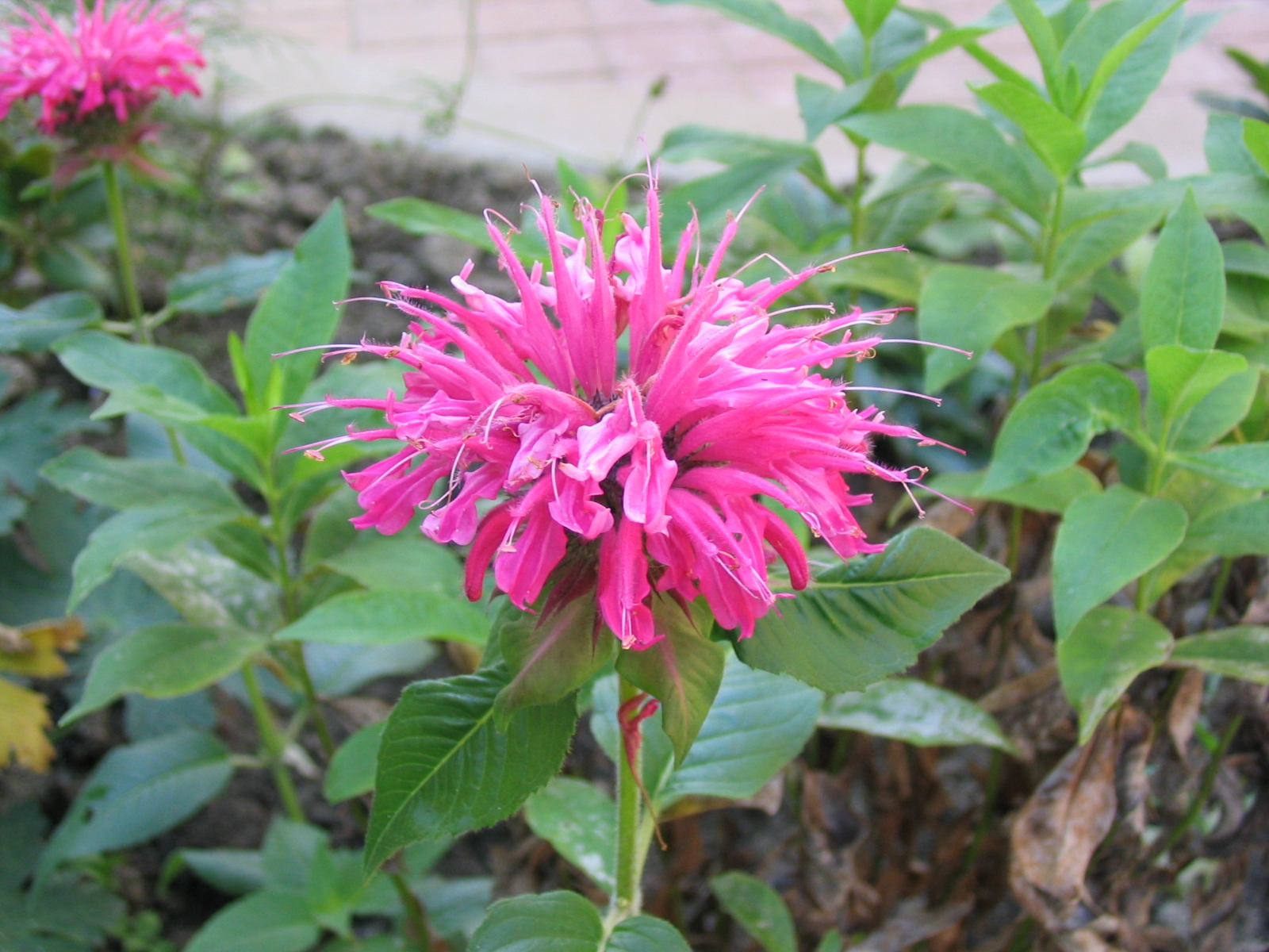Image result for bee balm
