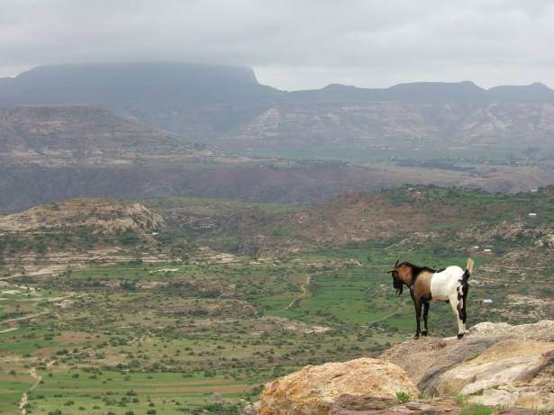 Goat in the Ethiopian Highlands