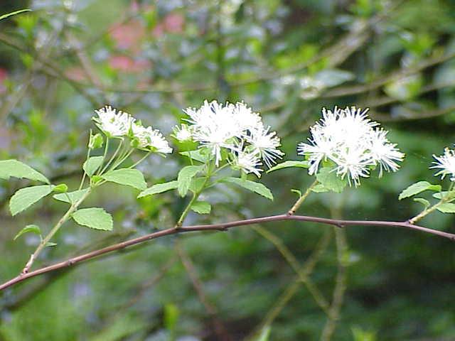 Neviusia alabamensis  Wikipedia